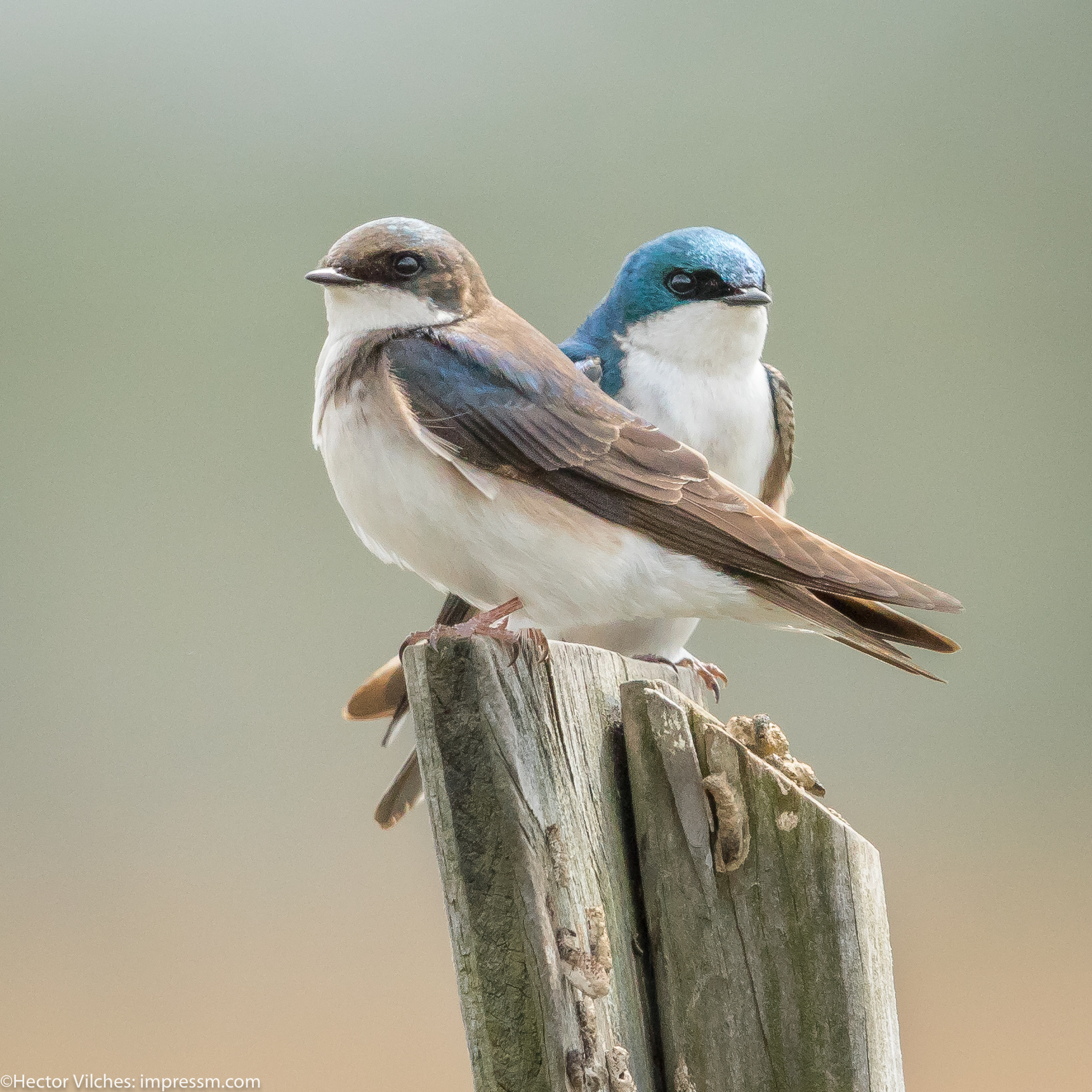 Vilches Tree Swallows7