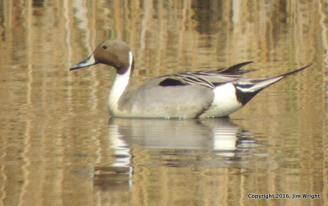 earth day pintail