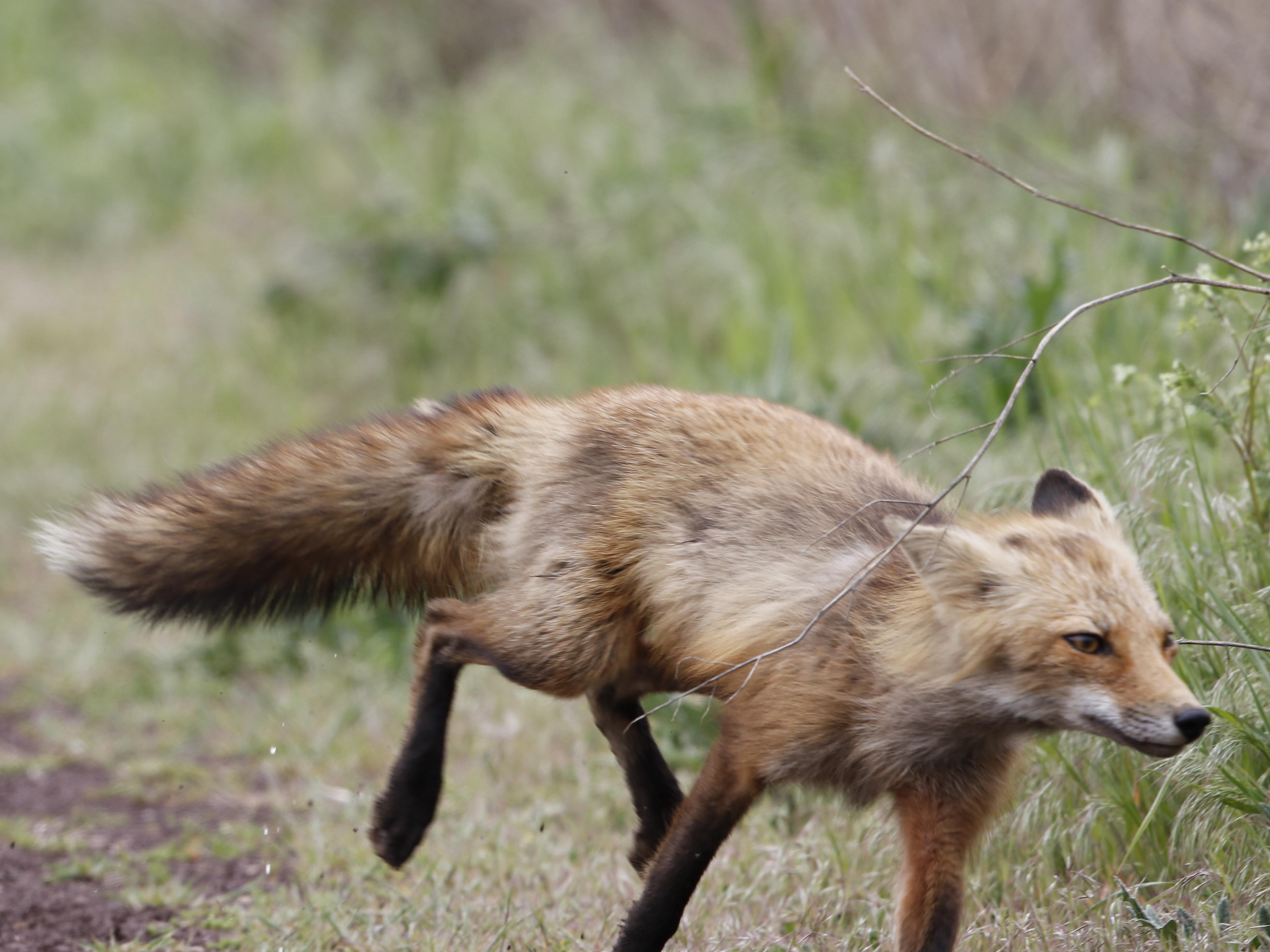 foxontherun