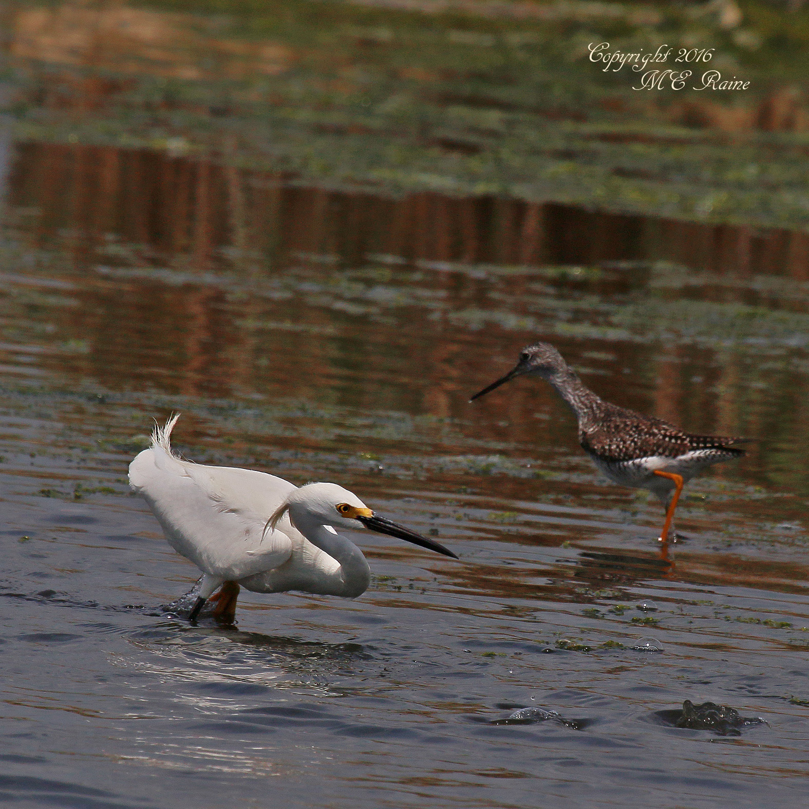 Egret and Yellowleg dekorte 5.14.16