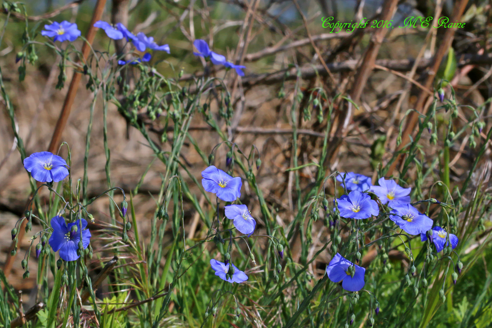 Flax Wild Blue 001af MCM Mdwlnds NJ 043016 OK FLICKR