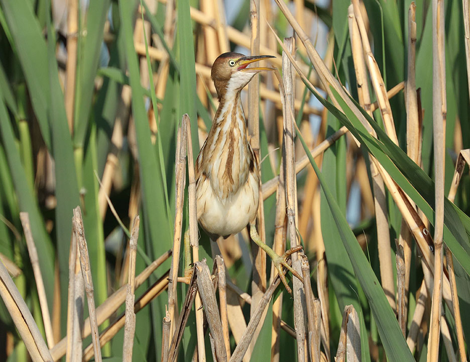 Least Bittern Ron Shields Kearny Marsh 5.28.15