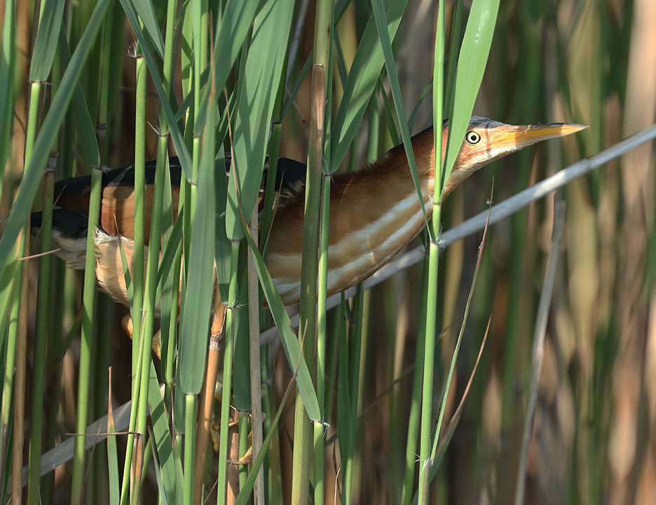 Least Bittern Ron Shields Kearny Marsh 5.28.16