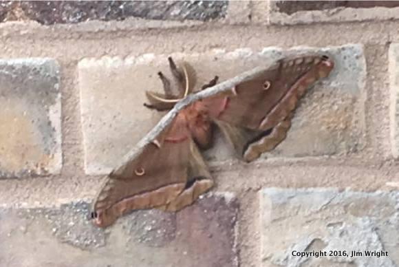 Polythemus Moth