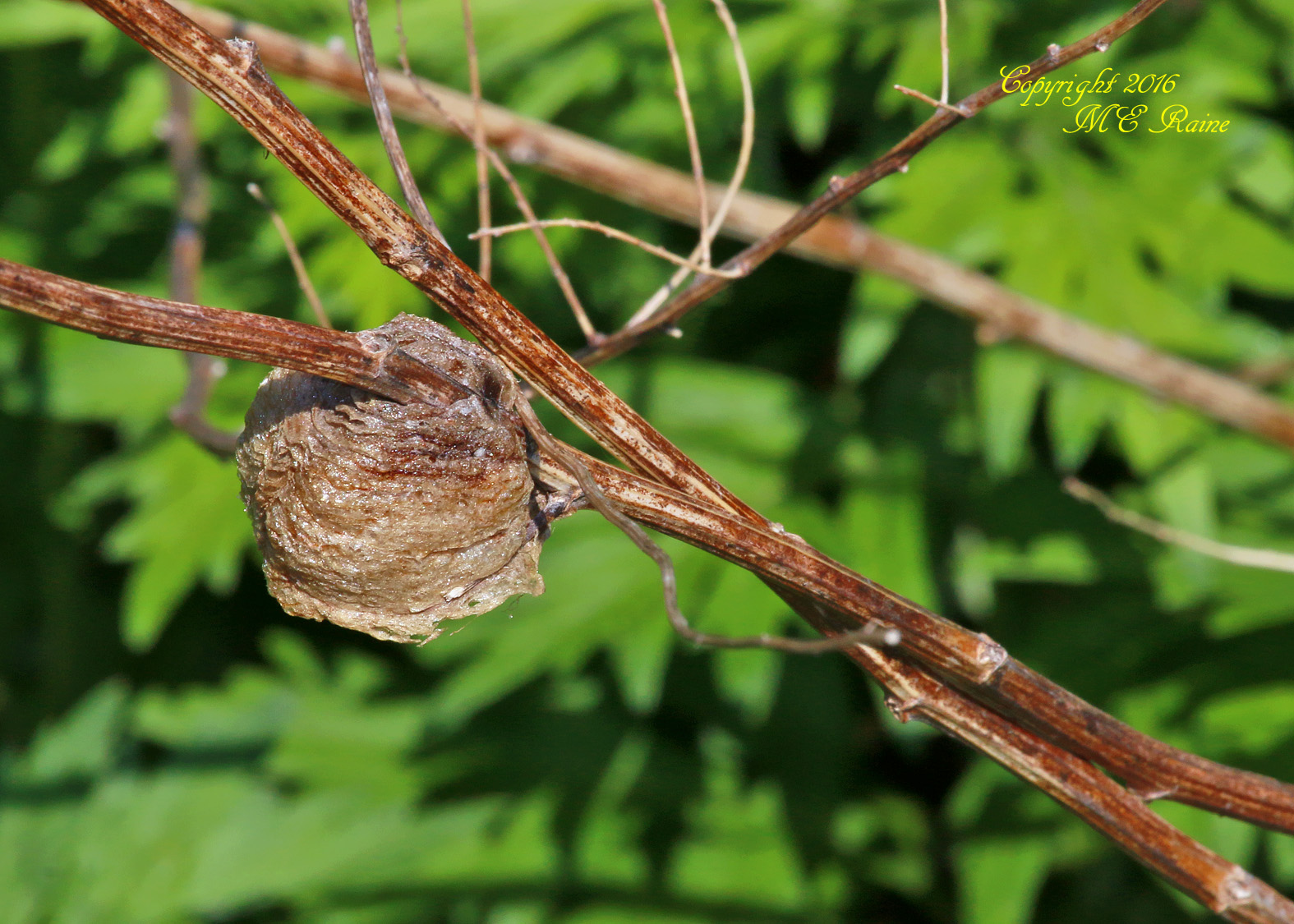 Praying Mantis Egg Casing Mill Creek Point Park