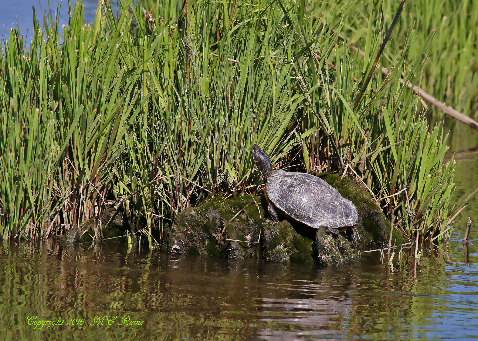 Red-eared Terrapin Mill Creek Marsh