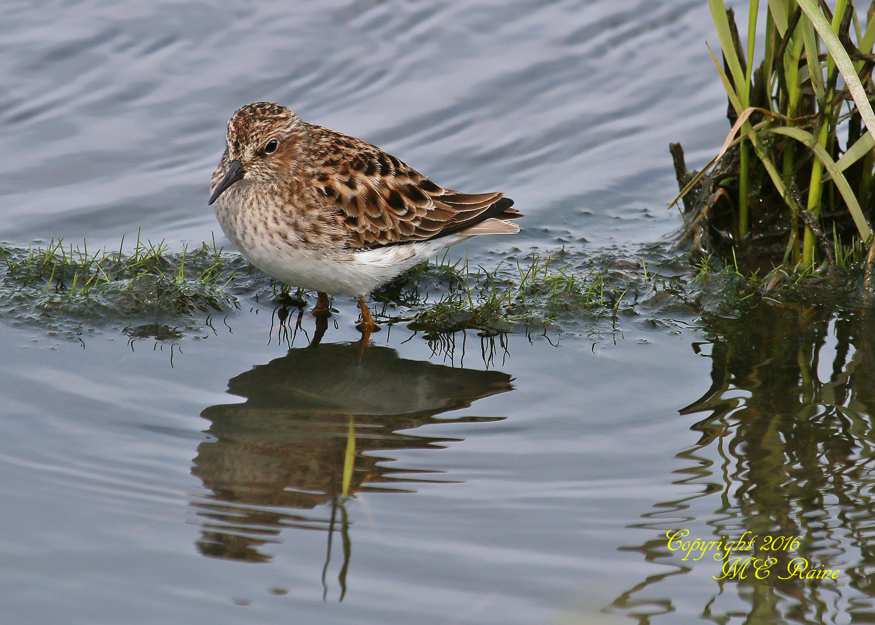 Sandpiper Least  2   022cf MCM Mdwlnds NJ 050916 OK FLICKR