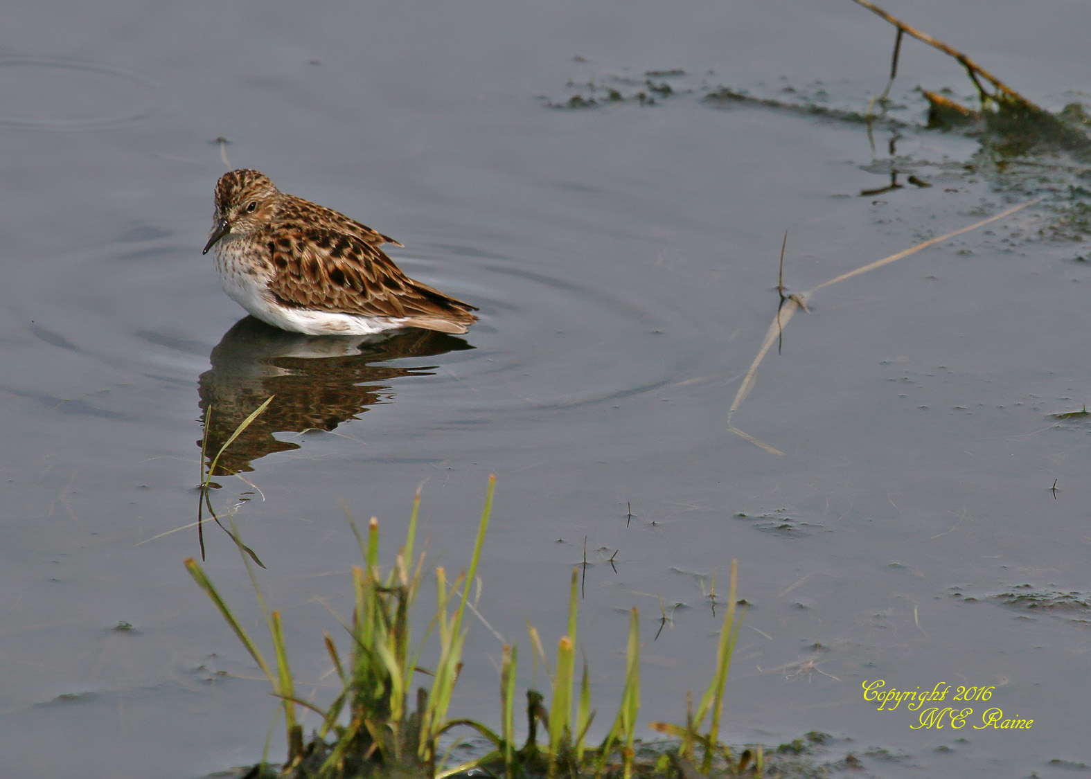 Sandpiper Least 3 MCM Mdwlnds NJ 050916 OK FLICKR