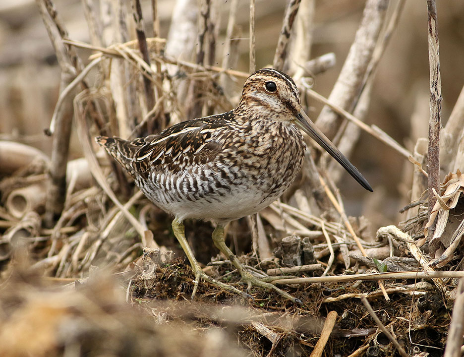 Snipe Kearny Marsh Ron Shields May 2016