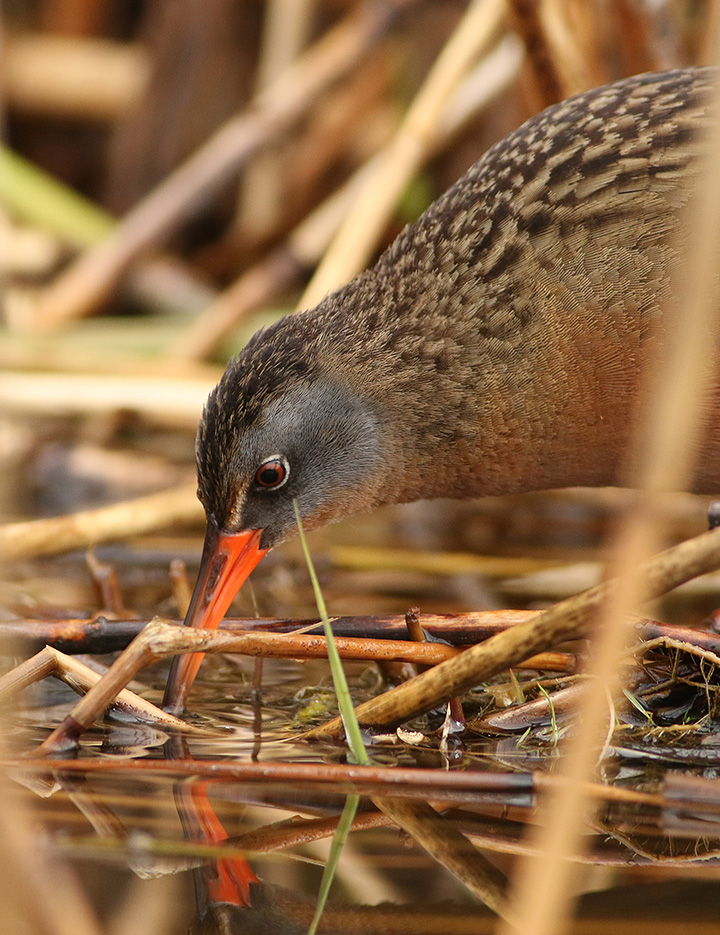 Virginia Rail Kearny Marsh Ron Shields May 2016