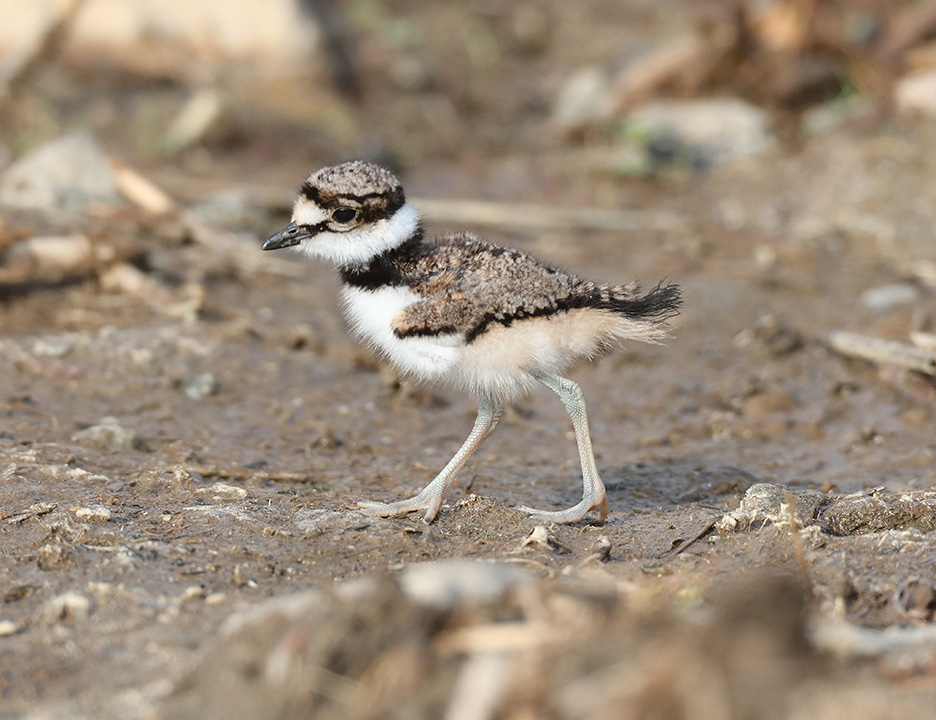 killdeer3