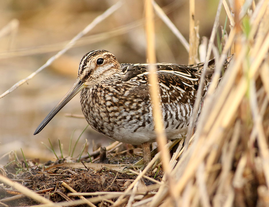 snipe3 kearny marsh ron shields may 2016
