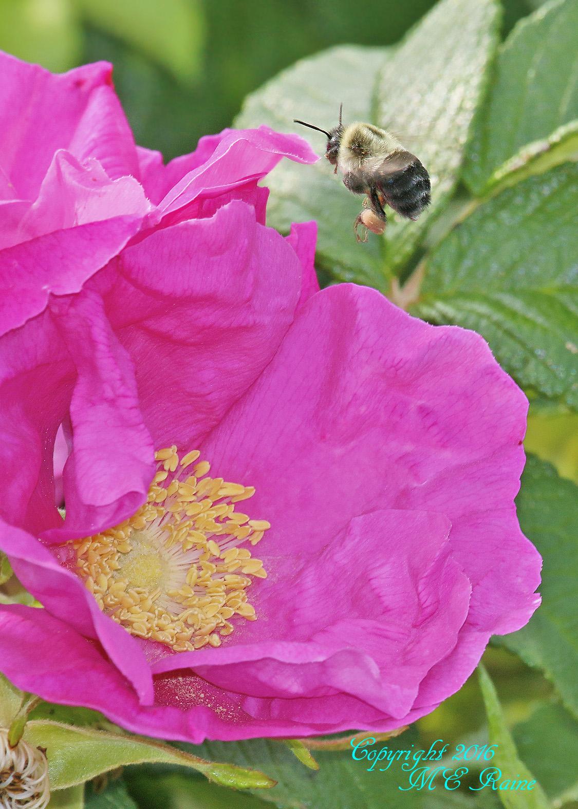 Bee Pollinating DeKorte 5.31.16