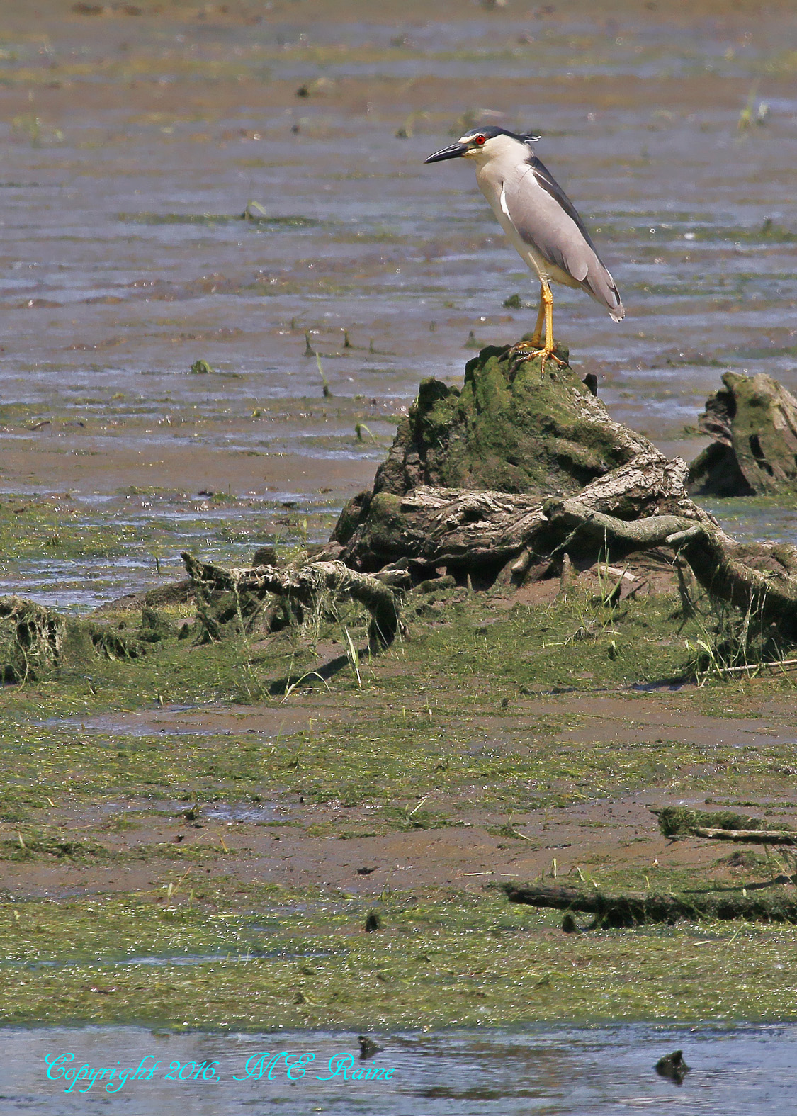 Black Crowned Night Heron Mill Creek Marsh