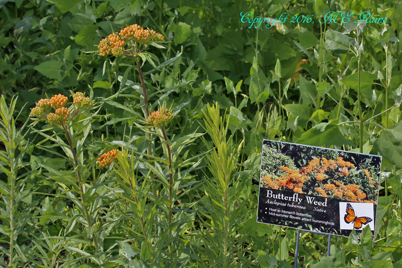 Butterfly Weed MCM 6.11.16 mickey raine