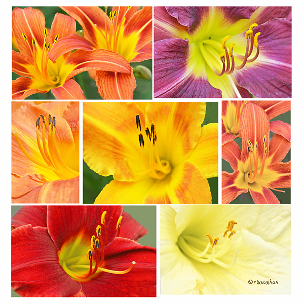 A montage of various early summer daylilies blooming at Richard W. DeKorte Park in the New Jersey Meadowlands.
