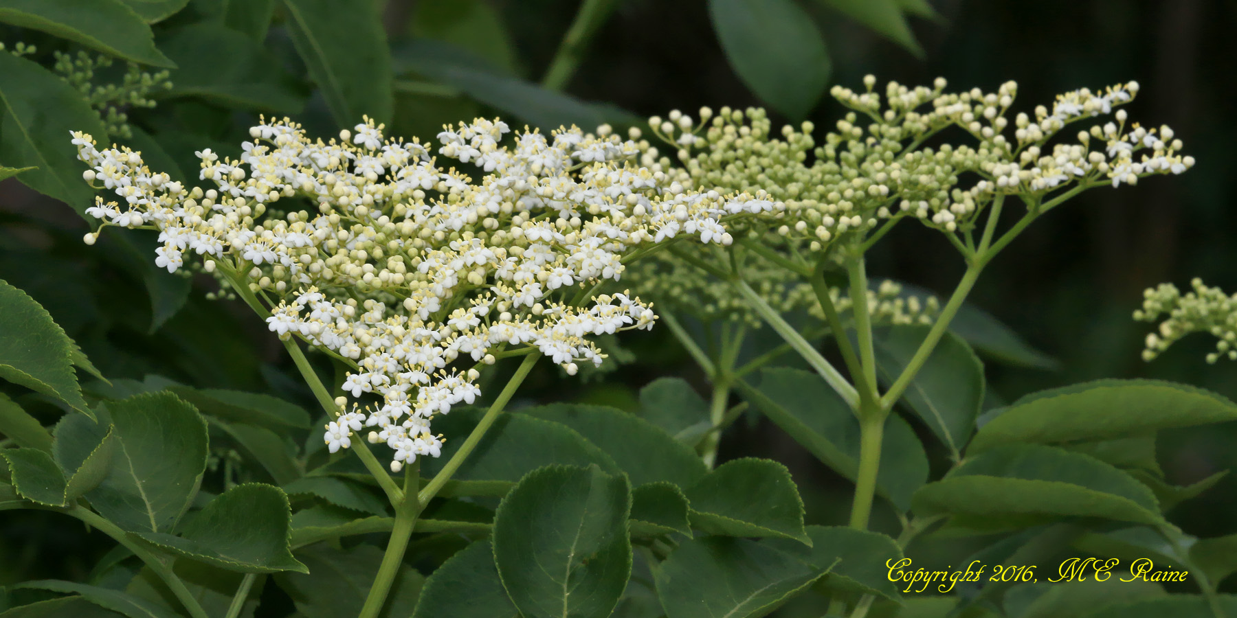 Elderberry Bush - Mill Creek Marsh
