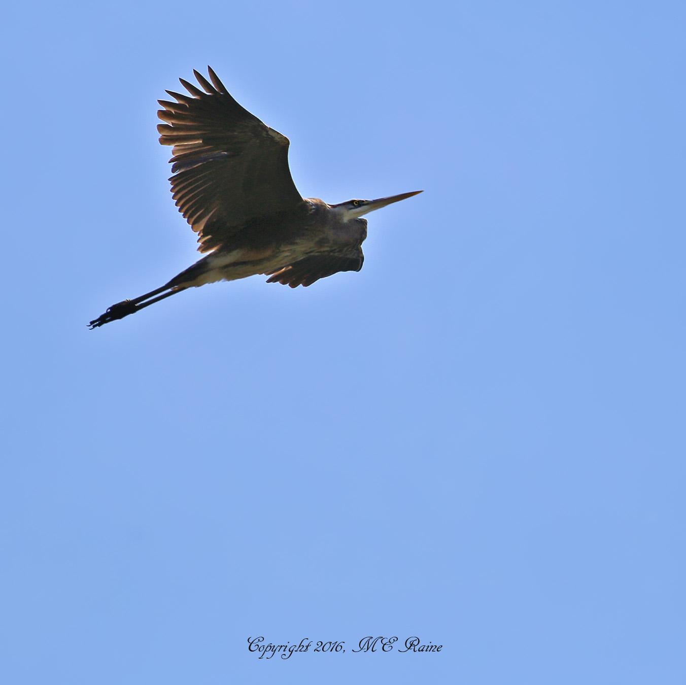 Great Blue Heron - Mill Creek Marsh