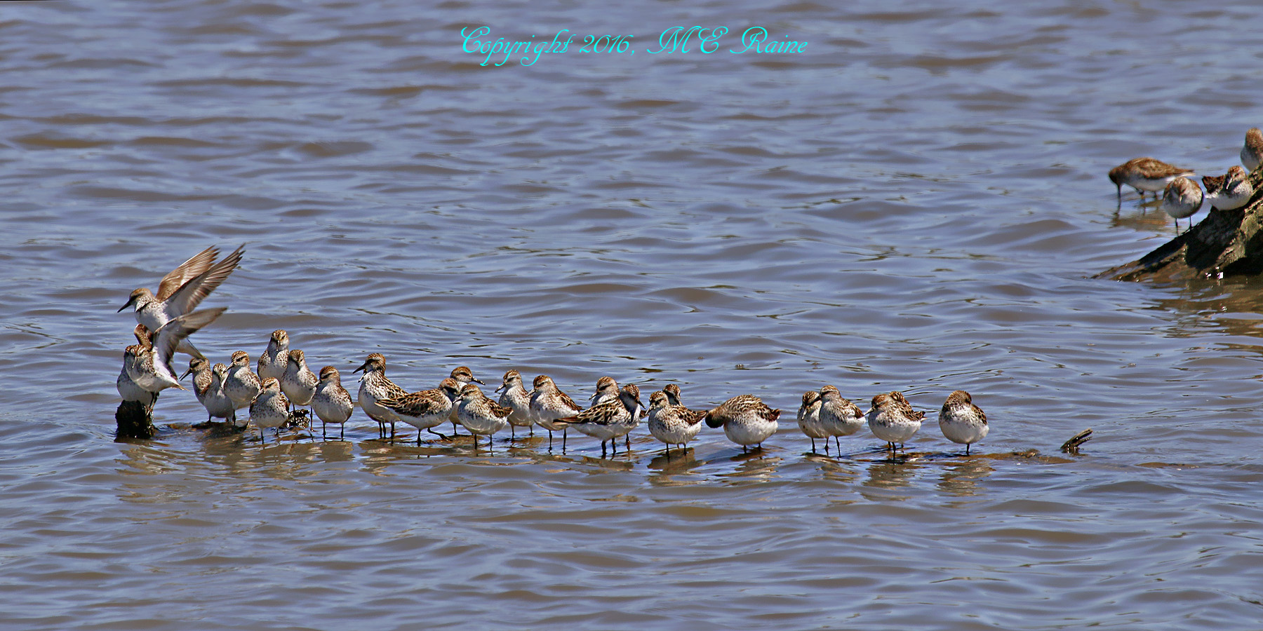 Least Sandpipers MCM Mickey Raine 6.10.16