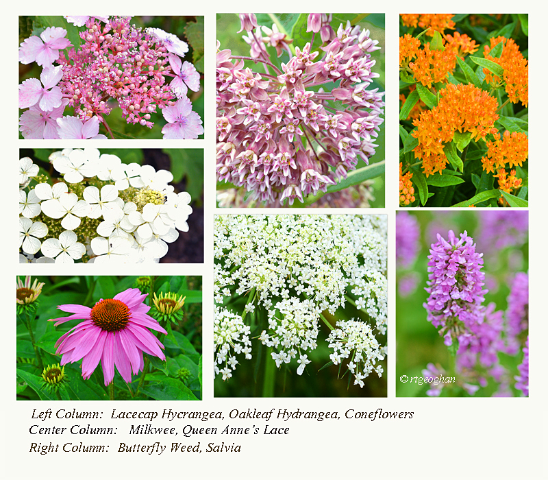 A montage of a few of the early summer native flowers blooming at Richard W. DeKorte Park in the New Jersey Meadowlands.  Flowers include Oakleaf Hydrangea, Lace Cap Hydrangea, Swamp Milkweed, Orange Butterfly Weed, Coneflowers, Queen Anne's Lace and Salva.