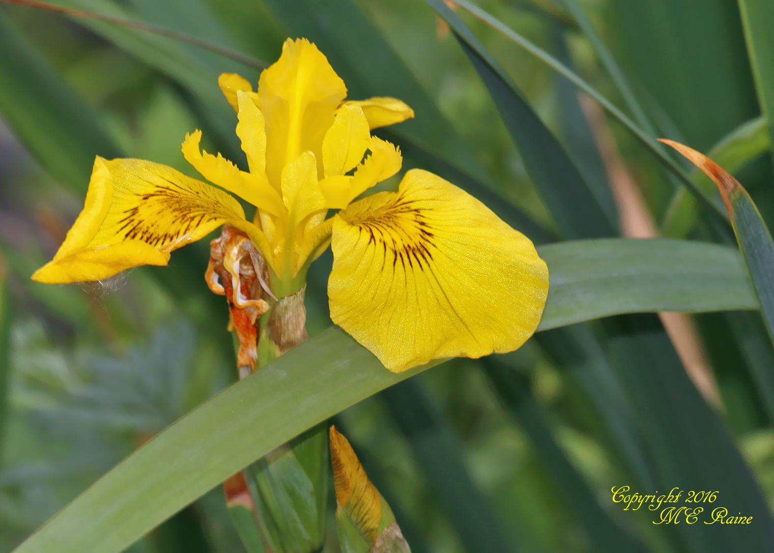 Yellow Iris - Mill Creek Marsh