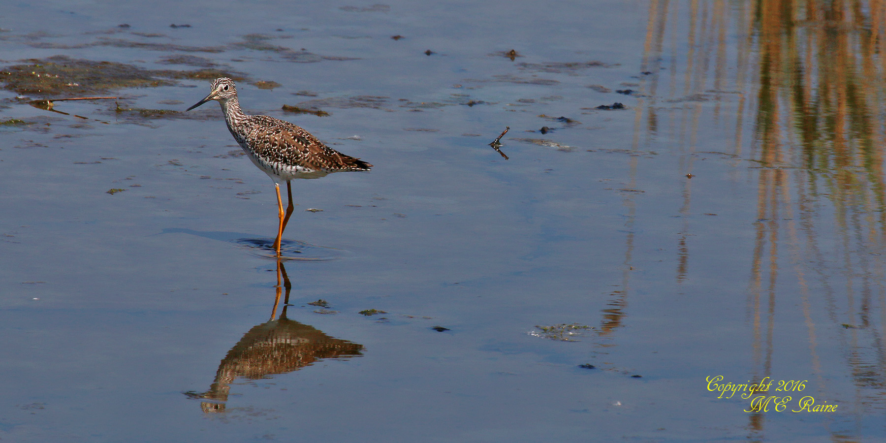 Greater Yellowlegs DeKorte Park