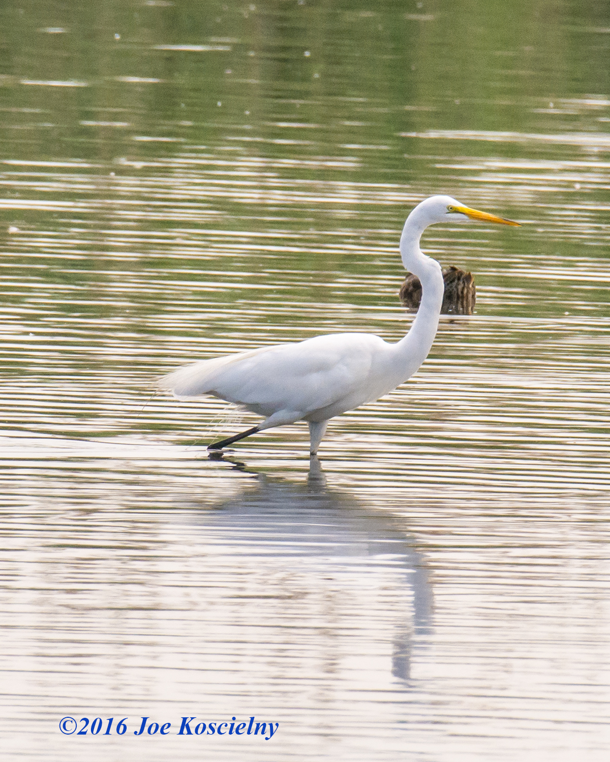 DeKorte 7-3-16-Great Egret-11