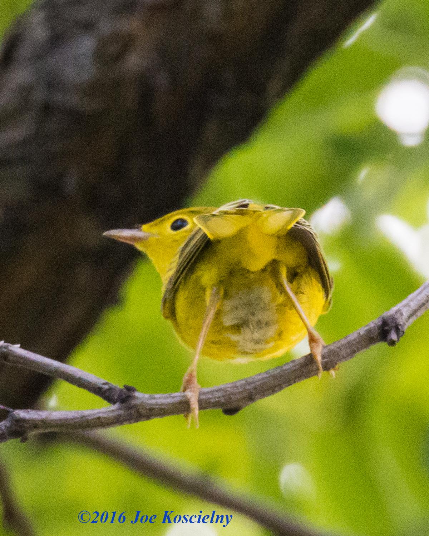 DeKorte 7-3-16-Yellow Warbler-9