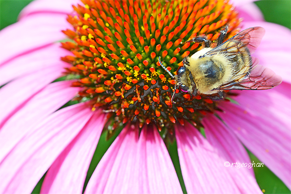 A horizontal format view of a bumble bee gathering pollen on a purple coneflower.