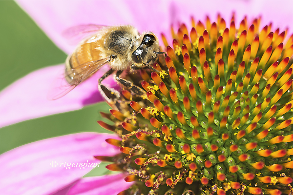 A close up macro view of a bee gathering pollen on a purple coneflower,