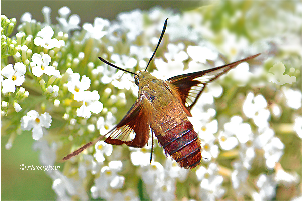A view of a clear-winged hummingbird moth on a white butterfly bush flower.