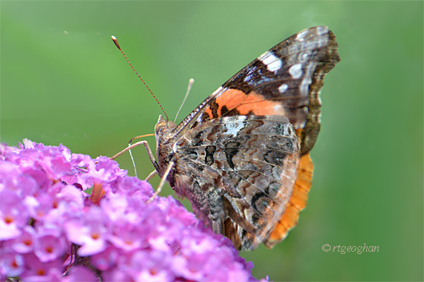 A side view view of a Red Admiral butterfly with closed wings on a purple butterfly bush flower.