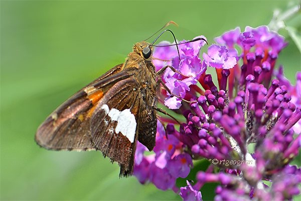 A view of a silver-spotted skipper butterfly nectaring on a purple butterfly bush.