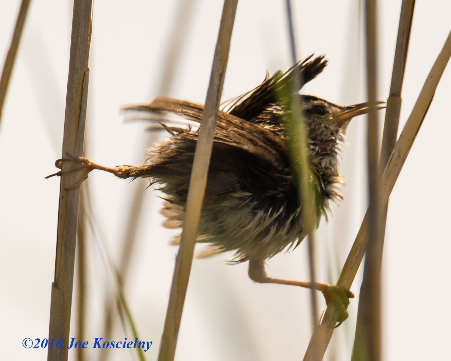 Immature Marsh Wren