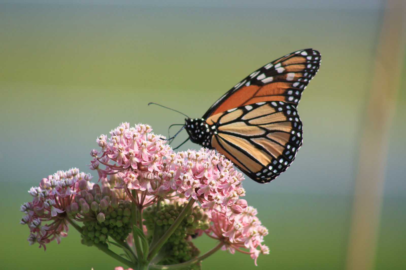 Monarch on Milkweed by Marie Longo