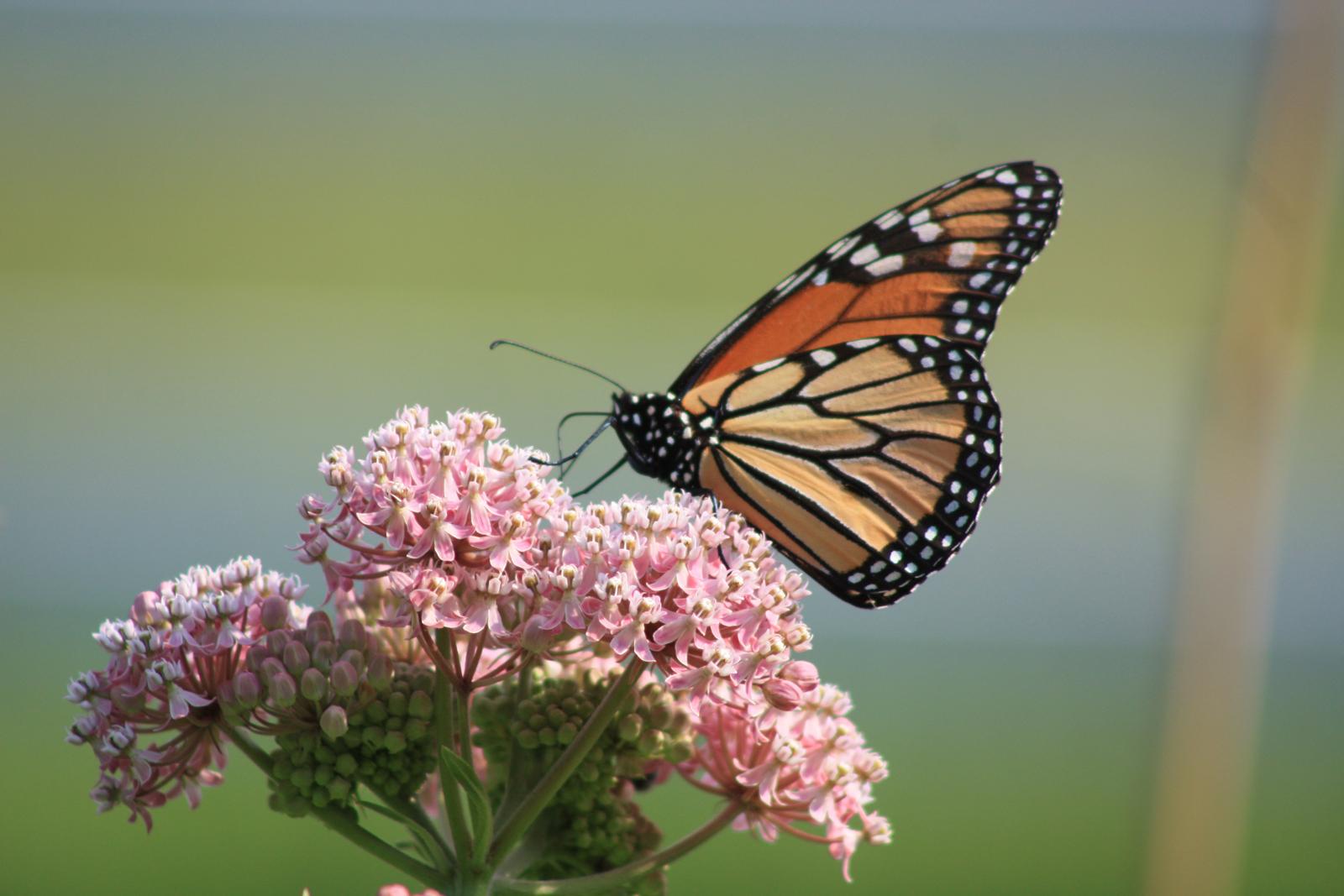 Monarch on Milkweed by Marie Longo