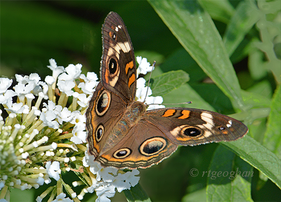 A view of a Common Buckeye butterf on a white butterfly bush flower in DeKorte Park - N.J. Meadowlands.