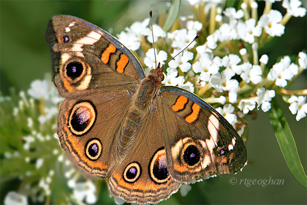 A view of a Common Buckeye Butterfly on a white butterfly bush flower at DeKorte Park in the NJ Meadowlands.