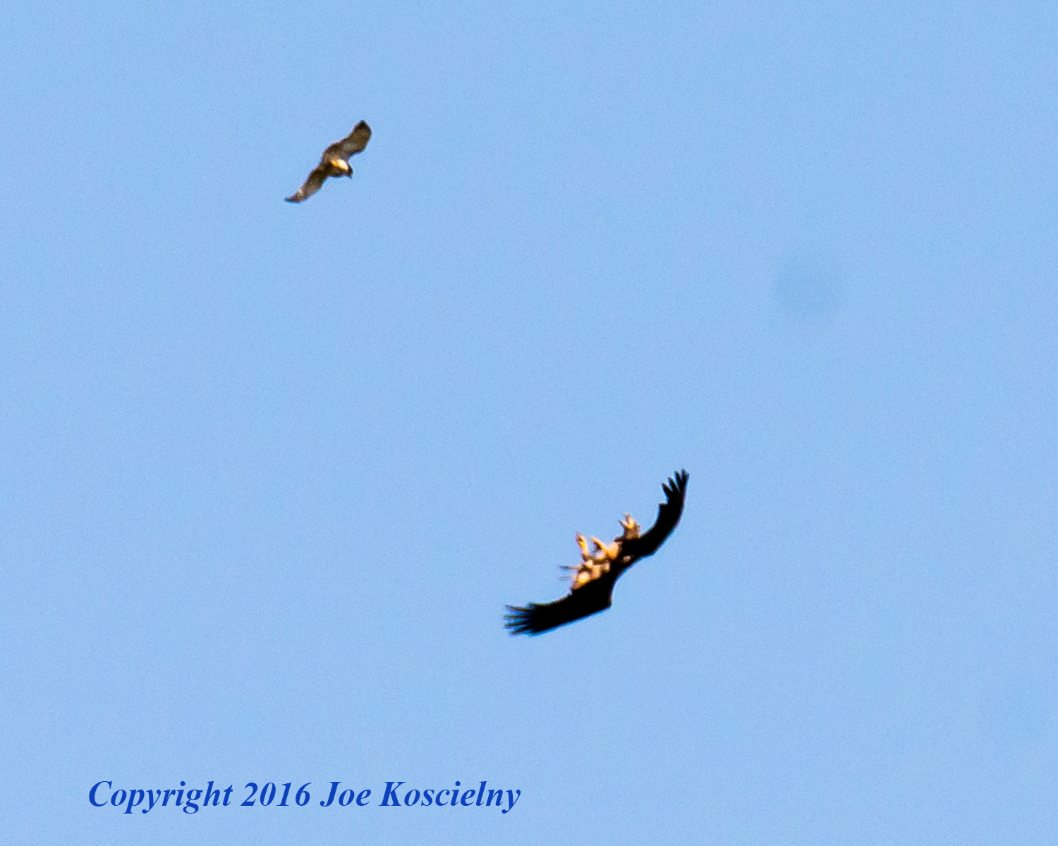 Immature Bald Eagle and Red-Tailed Hawk