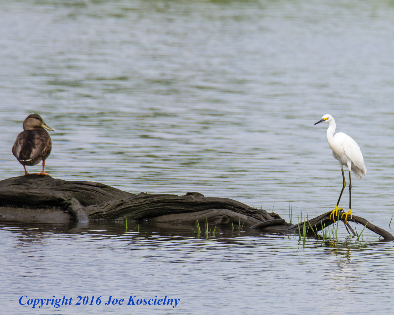 MCM 8.16.16 Duck and Snowy Egret