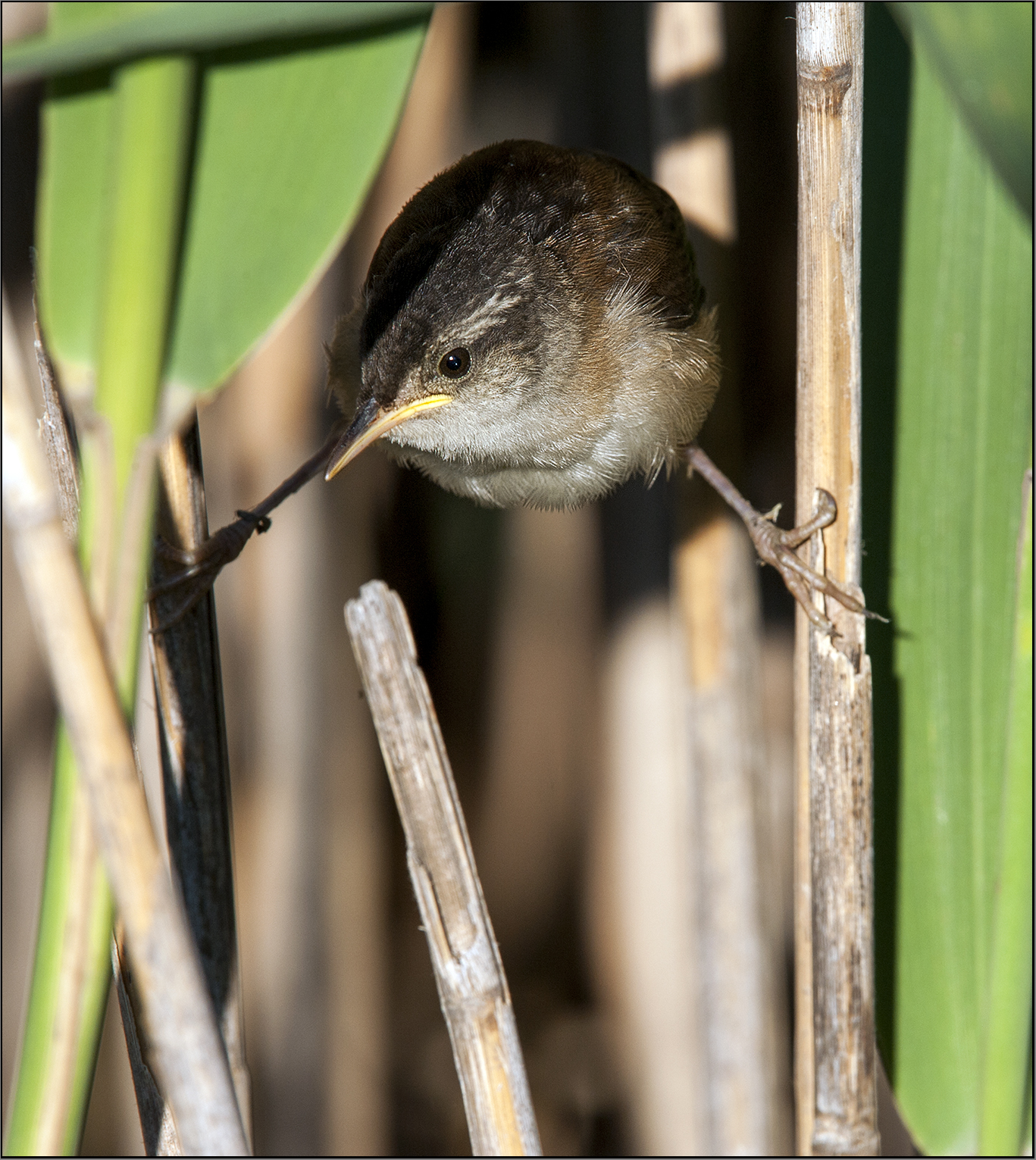 Marsh Wrens4 Marco MDT 8.16