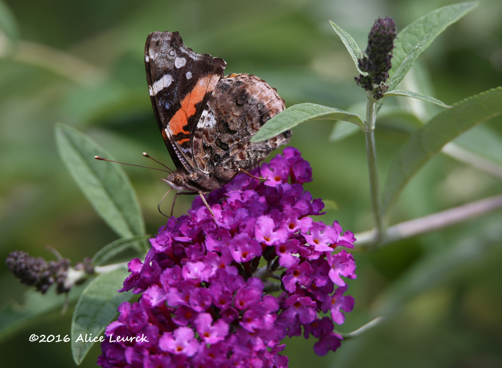 Red Admiral Alice Leurck Butterly Day 7.30.16
