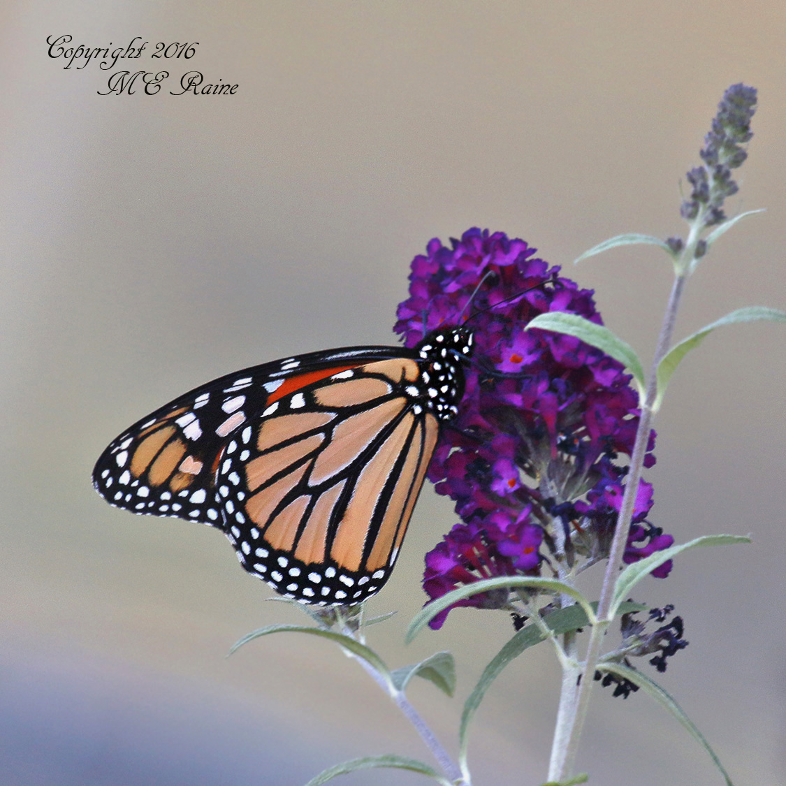 butterfly-monarch-dekorte-mickey-9-4-16