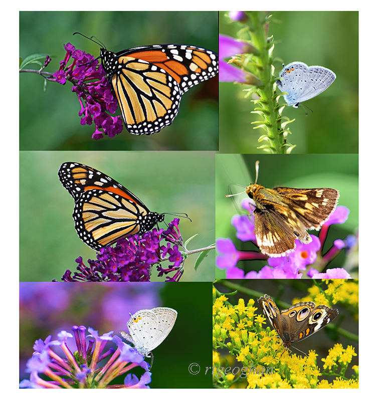 A selection of butterflies photographed in late afternoon during a Sept visit to Richard W. DeKorte Park in the N.J. Meadowlands.