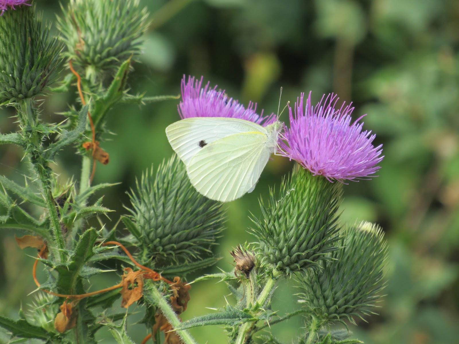 cabbage-white-tom-mitchell-9-9-16