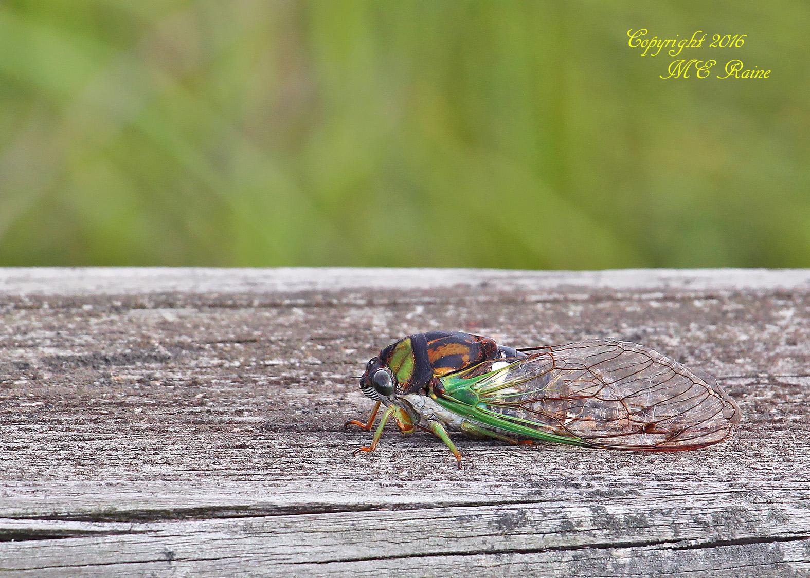 Cicada Dogday Harvestfly 001aEf MCM Mdwlnds NJ 090316 OK FLICKR