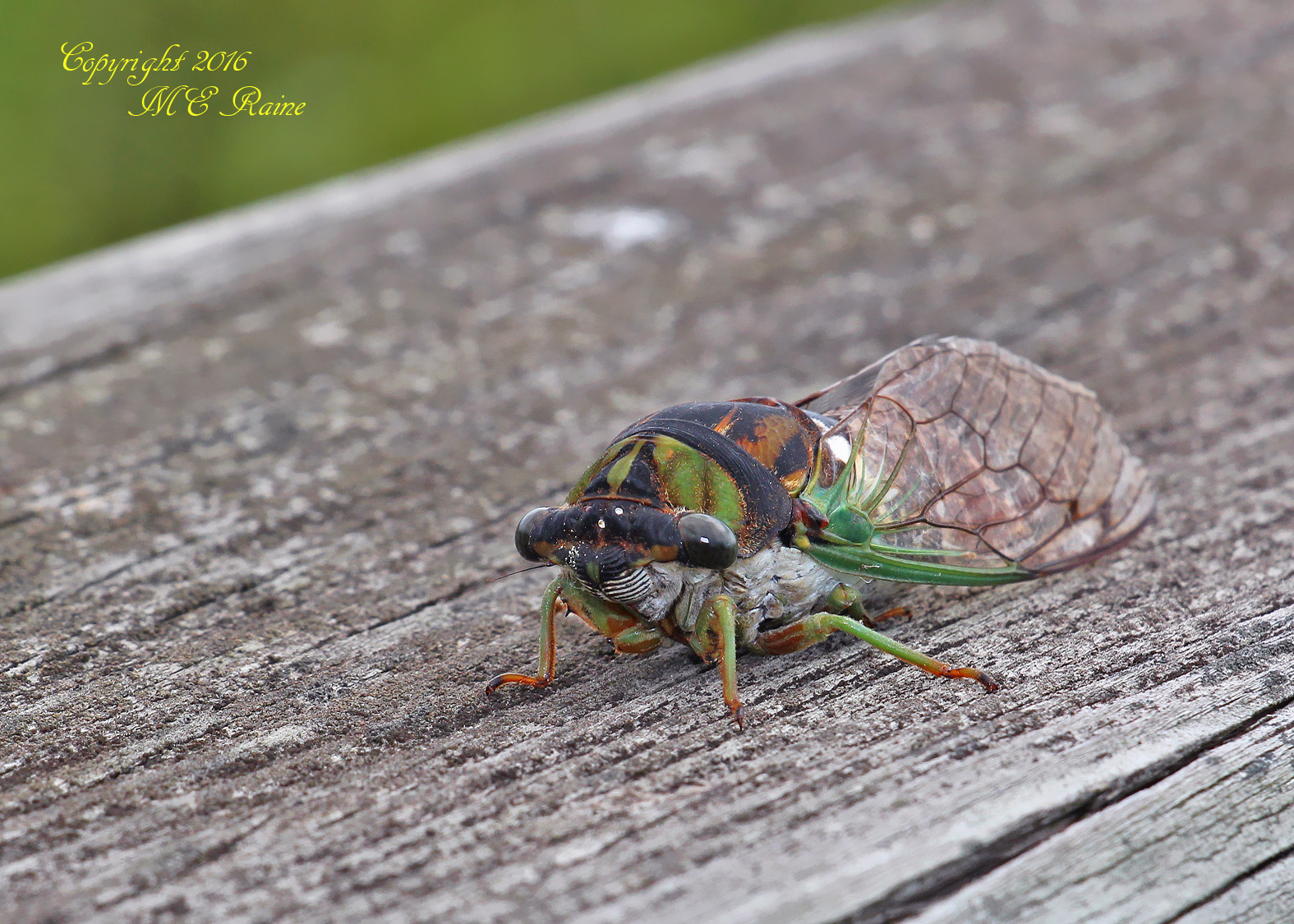 Cicada Dogday Harvestfly 001bf MCM Mdwlnds NJ 090316 OK FLICKR