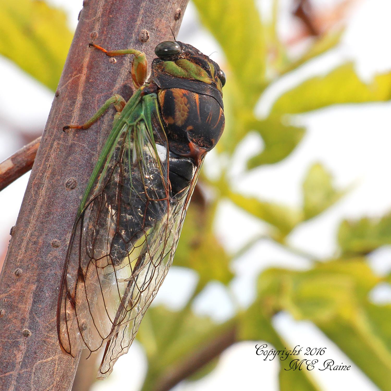 Cicada Dogday Harvestfly 001df MCM Mdwlnds NJ 090316 OK FLICKR