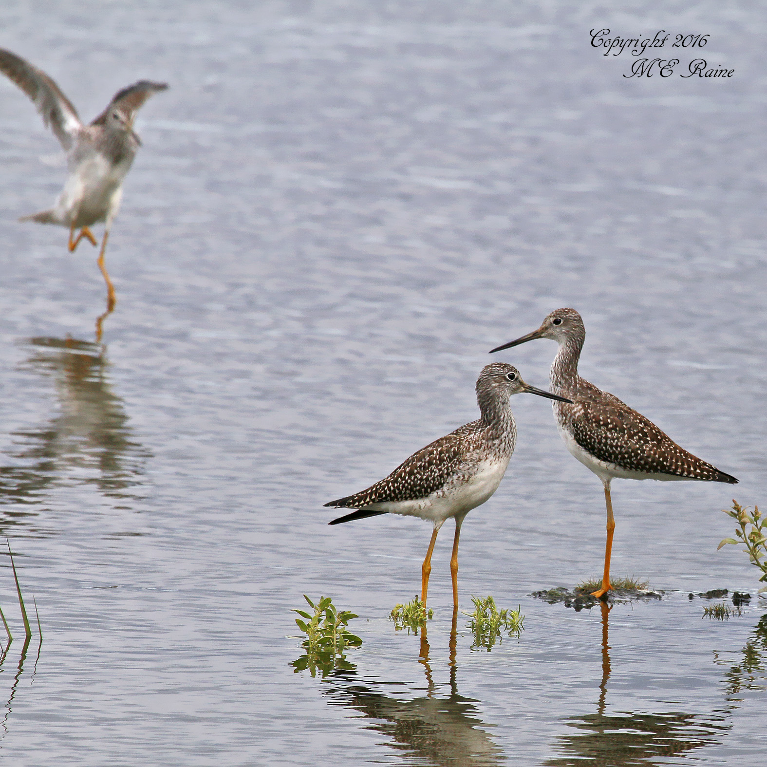 Greater Yellowlegs Mickey MCM 9.3.16
