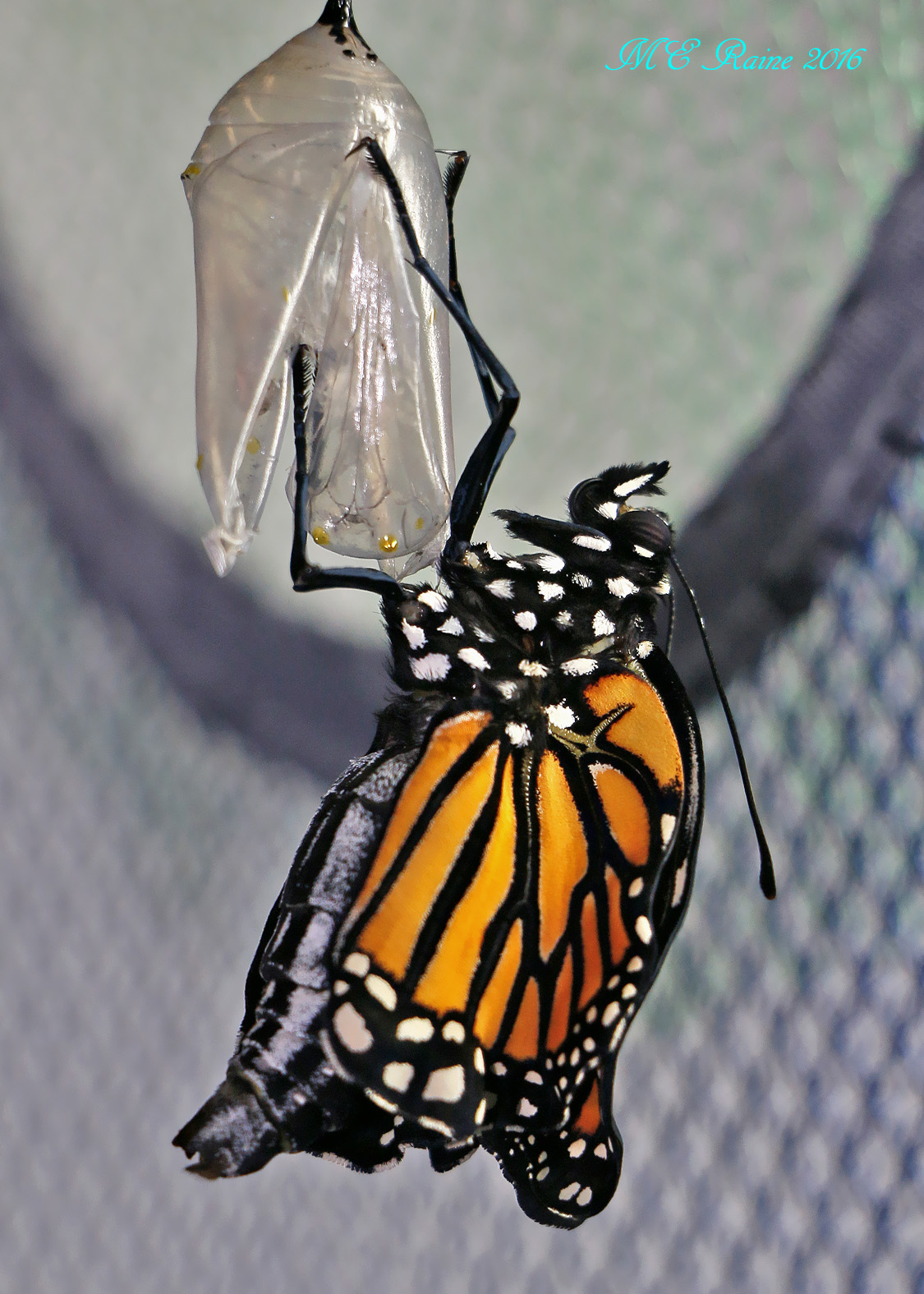 monarch-butterfly-emergence2-of-no-13-in-safe-house-1-091916-9am-ok-wm